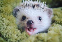 pigmy hedgehog
