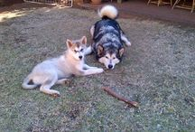 My Malamutes / Malamute Sasha and Kahn