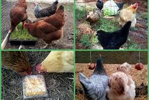Hens & Chicken ....