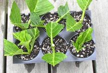 How to re-grow plants from stemps