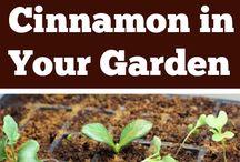 Cinnamon in your garden