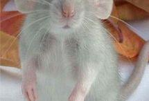 Myšáčci