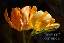 Flower Photography / Floral photography and digital art by Fiona Craig, Layla Alexander and others.