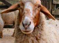 Ref: Sheep