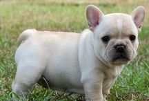 Animals// French Bull dog