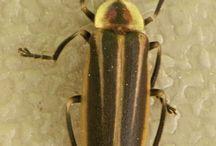 lampiridae