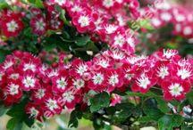 díszfa pompás virágu