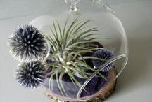 Tillandsias and succulents / Air Plants and more in terrariums