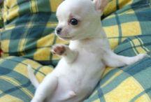 Little chiuaua
