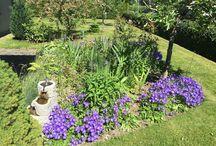 #Карпатский #колокольчик, #karpaterklocka, #campanula #carpatica, #tussock #bellflower, #carpathian #harebell