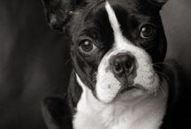 Sweets Boston Terrier