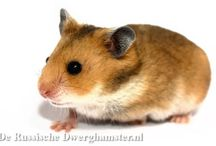 Moon het Syrische Hamstertje / Moon is onze Syrische Hamster ♥  #hamster #goudhamster