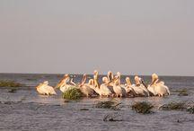 Birdwatching in the Danube Delta