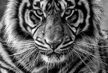 Tygři a lvi