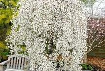 weeping Japanese willow ideas