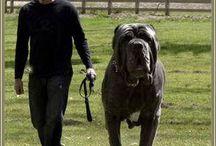 Nápolyi Mastiff