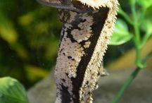Lines in My Geckos (Not My Geckos) / by Kaitlin Marks-Dubbs