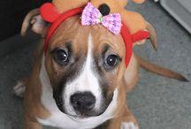 Моя любимая собака / Американский стаффорширский терьер Ариэль. Наша любимица.