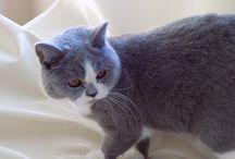 Blueberry of Diamond CastleDE / kotka brytyjska