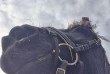 Friesian horse / Friesian horses