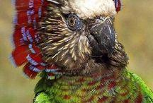 Deroptyus / Il genere di pappagalli Deroptyus è monospecifico, e comprende dunque una sola specie che, secondo l'opinione di molti ornitologi presenta tratti in comune con le amazzoni: si tratta del pappagallo accipitrino (deroptyus accipitrinus), curioso e variopinto pappagallo che presenta alcune caratteristiche uniche che lo rendono differente da ogni altro psittacide  http://www.pappagallinelmondo.it/deroptyus.html