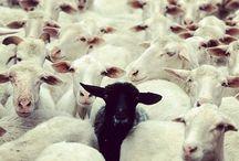 Worldwide Sheep