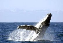 Tonga / The number one destination for seeing humpback whales.