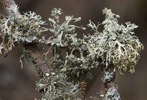 clean air lichens