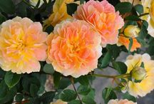 Flora: Roses