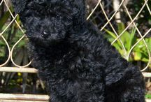 Toy uszkár - Toy poodle