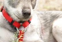 saarlose wolfshond