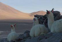 Fauna en el Salar de Uyuni