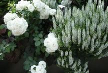 Växter marktäckande