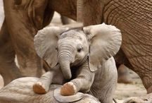 Baby elephants / If you don't find these guys cute your mad!!