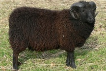 Black sheep / Sheep that are black or grey and mixtures.