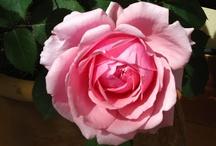 Rosas en el balcón