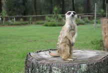 Joey: The last Meerkat Standing