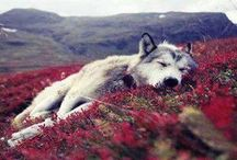 wolves / wolves