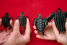 cuccioli Sea turtle
