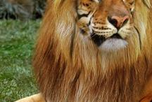Lion/Tiger