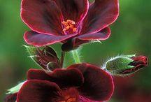Pelargonium - pelargonie (Muškát) - vyš.klas. Kakostovité