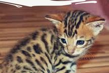 Bengal / featuring articles about Bengal breed information, cat selection, training, grooming and care for cats and kittens.