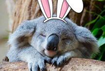 Image de Koalas