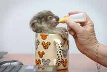 Cutiebears - koalas, pandas, polar bears