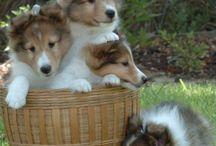perro collie enanos