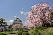 Cherry Blossoms 桜 さくら