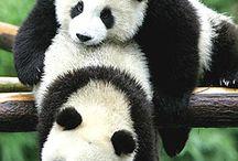 Panda❤️ / Panda