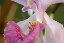 *** Acacallis *** / Please follow this board and we'll add you. Thanks for sharing your Acacallis Orchid pins.    #orchid #orchids #acacallis #orchidaceae #flower #flowers