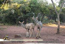Shayamanzi Wildlife Management / Shayamanzi Wildlife Management Articles