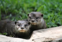 OTTERLY ADORABLE / Asian Small Clawed Otter | Berang-Berang Asia